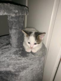 Tabby kitten 5 weeks old