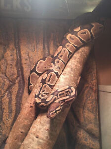 Ball python with all accessories for rehoming