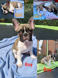 Lovely puppies Blue French Bulldog