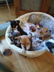 Chihuahua/Jack russel Puppies