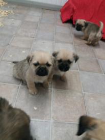 Shihtzu/pug puppies