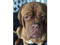 Dodge de Bordeaux dog for sale