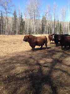 Herd Bulls For Sale