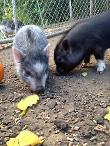 Mini pet pigs