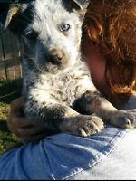 Blue heeler puppy! 1 left!