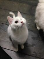1.5 yr old pure white, one eyed, cat for adoption.