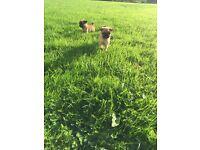 3/4 pug pups