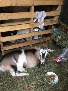 Goat for sale 8 month old