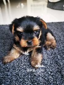 Yorkshire Terrier puppies/puppy dog