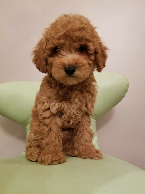 Apricot Red Toy Miniature Poodle Puppies Weekend Special