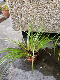 Small carex grass