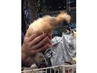 Silkie chicken