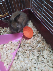 $40 8 month bunny female