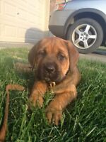 Home Needed for 8 week old Mastiff X