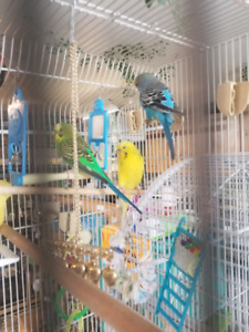 3 budgies for sale 1 male 2 females