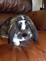 Smushy - young lop buck w/cage