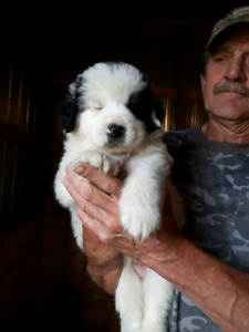 Great Pyrenees For Sales
