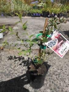Blueberry Plants West Ballina Ballina Area Preview