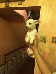 Chihuahua mixed pups for sale!