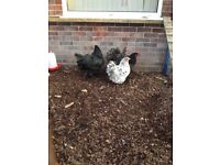 3 Orpington Chickens + Hen House