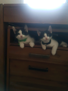 Kittens 10 weeks old vaccinated