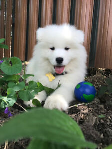 CKC Registered Samoyed Puppies for Sale
