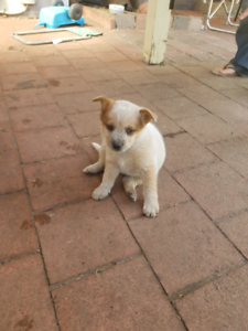 Red x blue heeler puppy