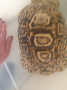 """>>Price Drop<< Leopard Tortoise Xtra large Male 11"""" and 7 years"""