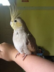 Two young cockatiels for sale