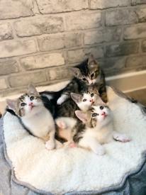 Beautiful Half pedigree Kittens ready now