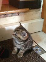 Bengal mix kittens ( scottish fold ) ONE MALE