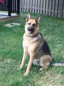 4year old Female German Shepherd