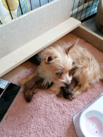 Yorkie Russell puppies for sale