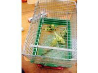 Budgies for £10