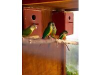 Green Cheek Conures Split for Cinnamon Selling Fast