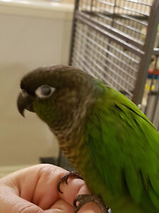 Hand Tame Green Cheek Conure and Large, Roomy Cage