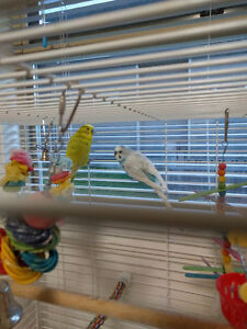 Love birds and Cockatiels for adoption
