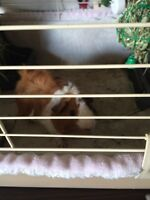 Male guinea pig with everything you need & more