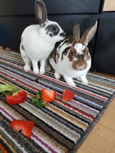 Deux Lapins Mini Rex