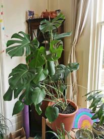 Monstera plant 107cm