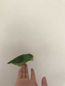 two bonded parrotlet for sale