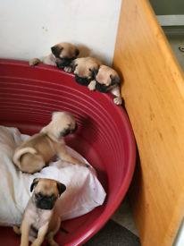 Pedigree pug puppies price reduced
