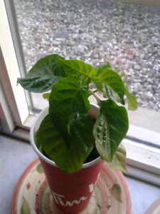 8 Ghost pepper plants all for $20