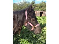 Black Welsh x cob mare