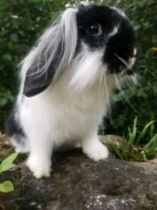 Last 3 baby bunnies  - on sale