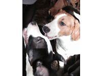 In mid Wales!!!!! Lurcher x beagle