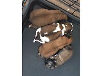 Shitzu cross Lhasa apso puppies for sale