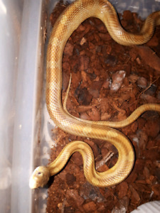 Male cornsnake