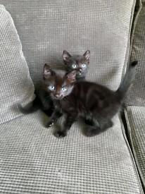 2 beautiful black kittens - 8 weeks old