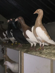 Magpie and scandaroon pigeons